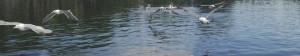 Roath Park Lake - Guls!