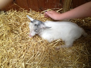 Walnut tree farm park - baby goat