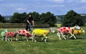 tour de france sheep