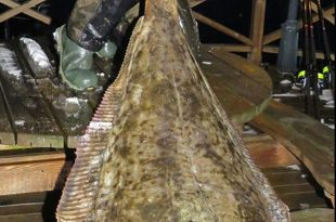 Monster Halibut