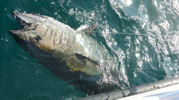 line caught tuna