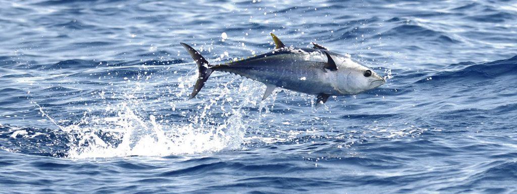 Bluefin tuna airborne